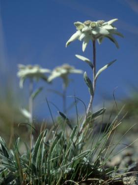 Edelweiss, Flower, Switzerland by Olaf Broders
