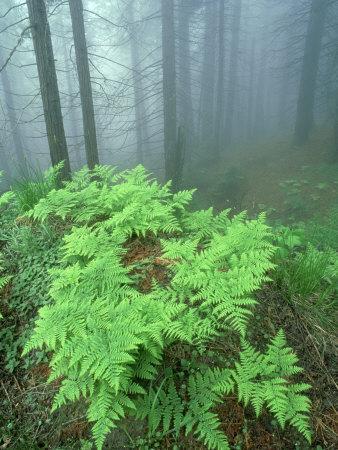 Ferns, Sequoia National Park, California, USA
