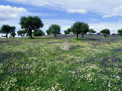 Flower Meadow with Oak Trees, Spain