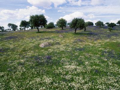 Flowering Meadow with Quercus Ilex, Extremadura, Spain