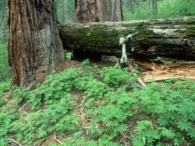 Giant Sequoia, Sequoia National Park, California, USA