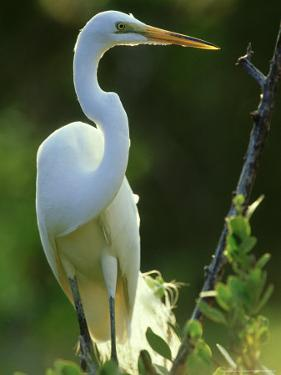 Great Egret, Florida, USA by Olaf Broders