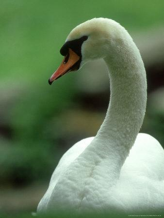 Mute Swan, Portrait, Austria