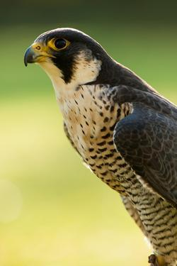 Peregrine Falcon (Falco Peregrinus) Portrait by Olaf Broders
