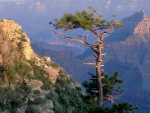 Pine Tree, Grand Canyon National Park, Arizona, USA by Olaf Broders