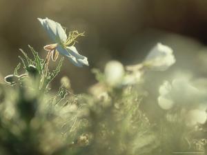 Prairie Evening-Primrose, Flowering, California by Olaf Broders