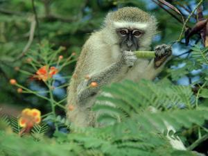 Vervet Monkey, Zimbabwe by Olaf Broders