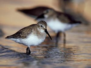 Western Sandpiper, Florida, USA by Olaf Broders