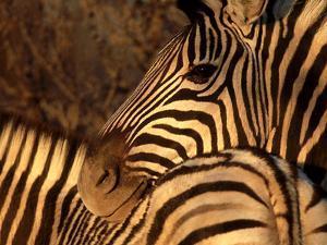 Zebra, Namibia by Olaf Broders