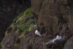 Fulmar, Fulmarus glacialis, chick by olbor
