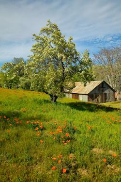 Old barn next to a colorful bouquet of spring flowers and California Poppies near Lake Hughes, CA