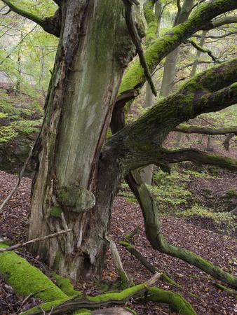 https://imgc.allpostersimages.com/img/posters/old-beech-kellerwald-edersee-national-park-paradies-kellerwald-hessia-germany_u-L-Q1EXZTT0.jpg?artPerspective=n