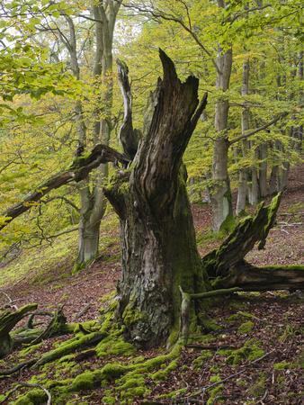 https://imgc.allpostersimages.com/img/posters/old-beech-kellerwald-edersee-national-park-paradies-kellerwald-hessia-germany_u-L-Q1EY2PD0.jpg?artPerspective=n