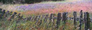 Old fence in a Lupine field, Quail Hollow Ranch County Park, Felton, Santa Cruz County, Californ...
