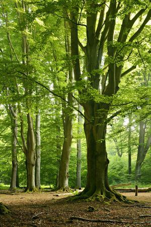 https://imgc.allpostersimages.com/img/posters/old-gigantic-beeches-in-a-former-wood-pasture-pastoral-forest-sababurg-hesse_u-L-Q11YIT70.jpg?p=0