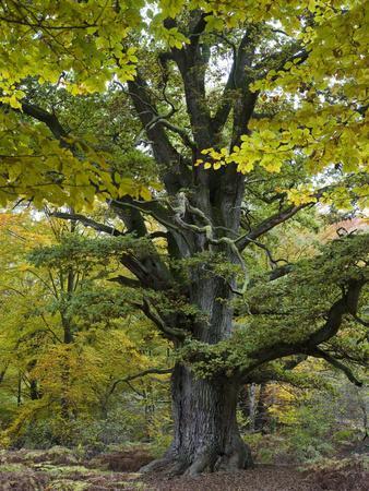 https://imgc.allpostersimages.com/img/posters/old-oak-urwald-sababurg-reinhardswald-hessia-germany_u-L-Q1EXYQ90.jpg?artPerspective=n