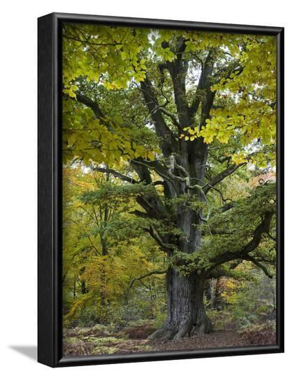 Old oak, Urwald Sababurg, Reinhardswald, Hessia, Germany-Michael Jaeschke-Framed Photographic Print