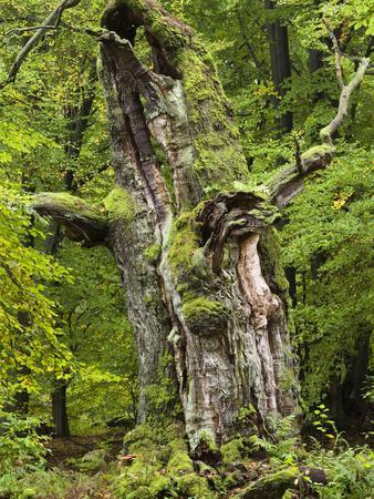 https://imgc.allpostersimages.com/img/posters/old-oak-urwald-sababurg-reinhardswald-hessia-germany_u-L-Q1EY03E0.jpg?artPerspective=n