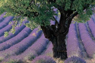 Old Tree Provence Lavender