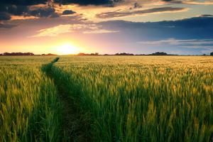 Beautiful Sunset, Field with Pathway to Sun, Green Wheat by Oleg Saenco