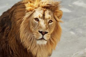 Eye to Eye Contact with a Young Asian Lion. by olga_gl