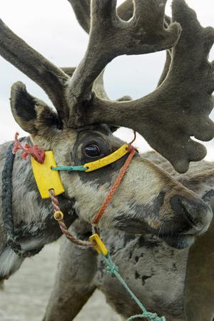 Harnessed Reindeer (Rangifer tarandus), Nenets Autonomous Okrug, Arctic, Russia