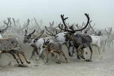 Nenet people herding Reindeer Nenets Autonomous Okrug, Arctic, Russia, July