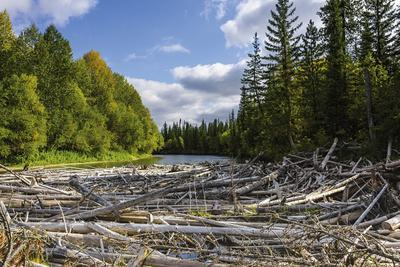 Upper reaches of the Lena River, with century-old log jam of trees, Siberia, Russia
