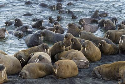 Walrus (Odobenus rosmarus) colony resting, Vaygach Island, Arctic, Russia, July