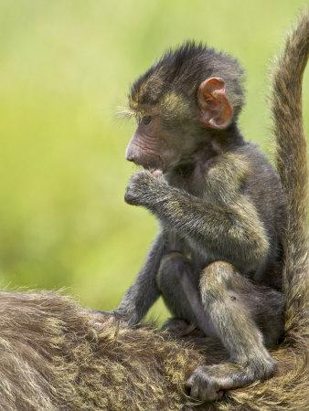 https://imgc.allpostersimages.com/img/posters/olive-baboon-infant-riding-on-its-mother-s-back-serengeti-national-park-tanzania-east-africa_u-L-P7NS3K0.jpg?artPerspective=n