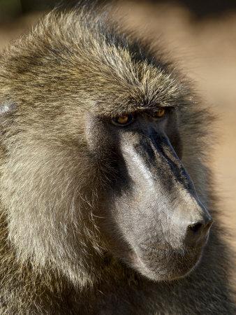 https://imgc.allpostersimages.com/img/posters/olive-baboon-samburu-national-reserve-kenya-east-africa-africa_u-L-P7NS680.jpg?artPerspective=n