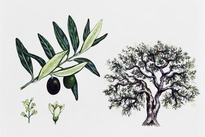 https://imgc.allpostersimages.com/img/posters/olive-tree-olea-europaea-oleaceae-tree-leaves-flowers-and-fruit_u-L-PVDZLZ0.jpg?p=0