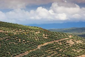 Olive trees in a field, Ubeda, Jaen Province, Andalusia, Spain
