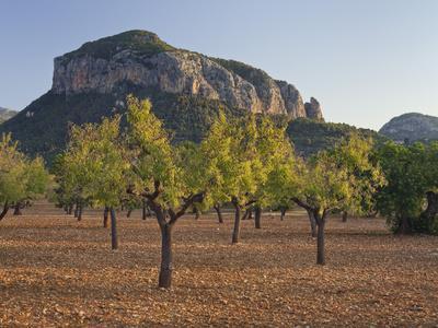 https://imgc.allpostersimages.com/img/posters/olive-trees-puig-de-s-alcadena-majorca-spain_u-L-Q11YQLN0.jpg?p=0