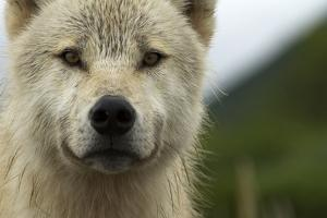 Grey Wolf (Canis Lupus) Portrait, Katmai National Park, Alaska, USA, August by Oliver Scholey
