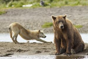 Grizzly Bear (Ursus Arctos Horribilis) With Grey Wolf (Canis Lupus) Stretching Behind by Oliver Scholey