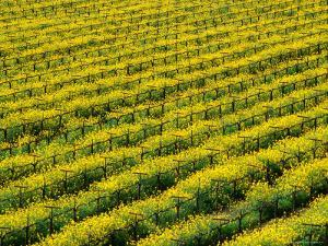 Field of Grapevines at Beckstoffer Vineyards, Napa Valley, California, USA by Oliver Strewe