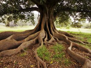 Fig Tree in Queens Park by Oliver Strewe