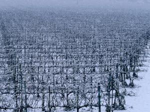 Snow Covered Vineyard in Monteforte Soave Classico, Florence, Italy by Oliver Strewe