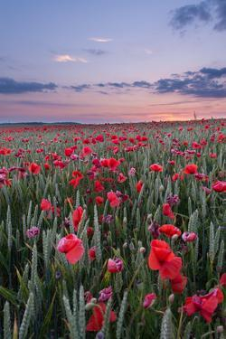 Dorset Poppy Field at Sunset by Oliver Taylor