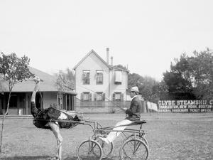 Oliver W., the Famous Trotting Ostrich, Florida Ostrich Farm, Jacksonville, Florida