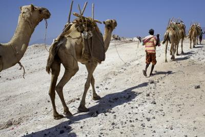 Salt Caravan in Djibouti, Going from Assal Lake to Ethiopian Mountains, Djibouti, Africa