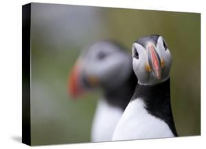 Posing Puffin by Olof Petterson