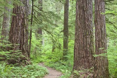 https://imgc.allpostersimages.com/img/posters/olympic-national-forest-trail-through-the-forest-washington-usa_u-L-PN731C0.jpg?p=0