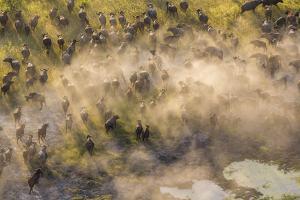 On the Move - Cape Buffalo