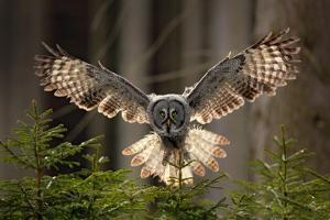 Action Scene from the Forest with Owl. Flying Great Grey Owl, Strix Nebulosa, above Green Spruce Tr by Ondrej Prosicky
