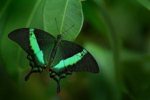 Beautiful Butterfly. Green Swallowtail Butterfly, Papilio Palinurus. Insect in the Nature Habitat. by Ondrej Prosicky