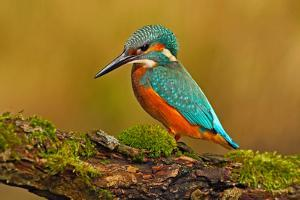 Beautiful Kingfisher with Clear Green Background. Kingfisher, Blue and Orange Bird Sitting on the B by Ondrej Prosicky
