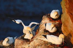 Bird Colony. Mating of Northern Gannet. Coupling of Sea Birds on the Coast Rock. Beautiful Birds In by Ondrej Prosicky