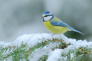 Blue Tit, Cute Blue and Yellow Songbird in Winter Scene, Snow Flake and Nice Spruce Tree Branch, Fr by Ondrej Prosicky